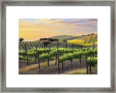 Sunset Vineyard Framed Print by Sharon Foster