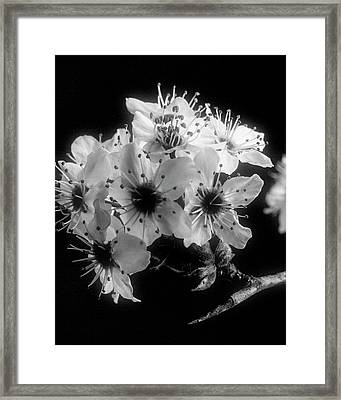 Sunset Wild Plum Blooms 5529.01 Framed Print