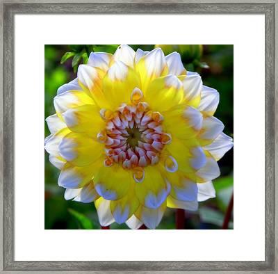 Sunshine Dahlia Framed Print by Karen Wiles