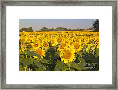 Sunshine Flower Field Framed Print