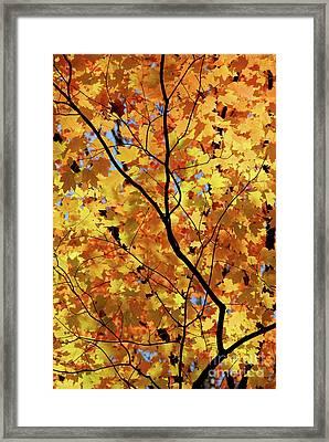 Sunshine In Maple Tree Framed Print
