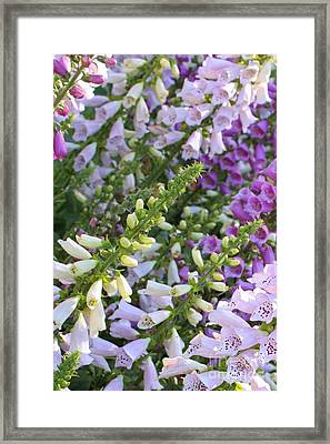 Sunshine On Foxgloves Framed Print