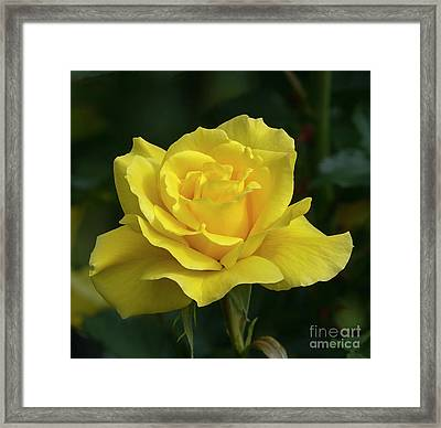 Sunsprite Rose 2 Framed Print