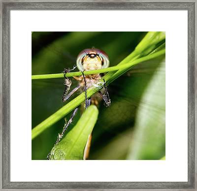 Super Efficent Super Amazing Dragonfly Framed Print by Miroslava Jurcik