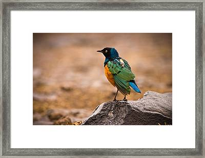 Superb Starling Framed Print by Adam Romanowicz
