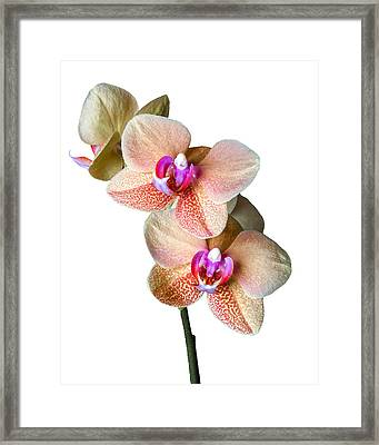 Surf Song Orchid-1 Framed Print