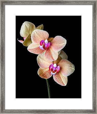 Surf Song Orchid-2 Framed Print by Rudy Umans