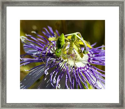 Surprise Passion Green Lynx Spider Framed Print by Reid Callaway