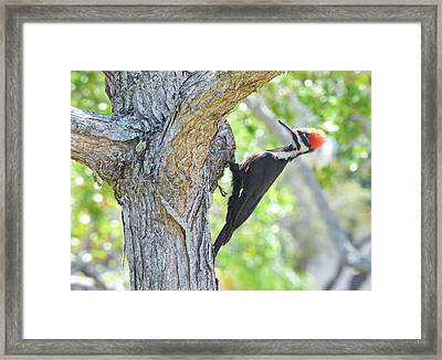 Surprised By Pileated Framed Print