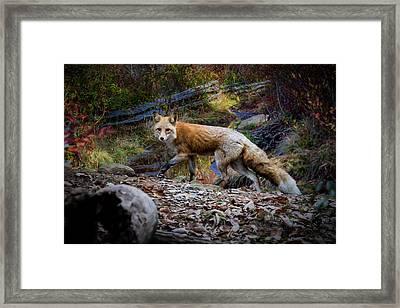 Surprising A Red Fox Framed Print