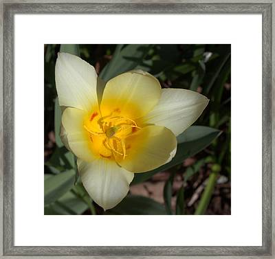 Surprising Sunny Tulip Framed Print by Liz Allyn