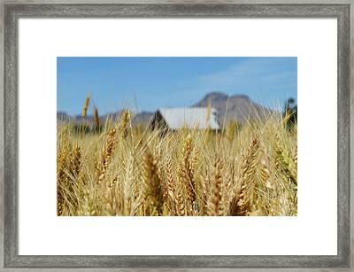 Sutter Buttes Wheat  Framed Print by Pamela Patch