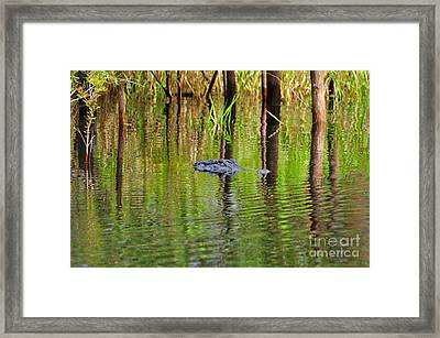 Framed Print featuring the photograph Swamp Stalker by Al Powell Photography USA