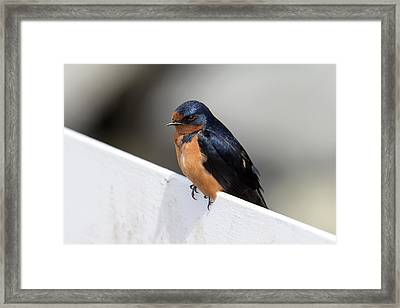Swallow Bird Portrait Framed Print
