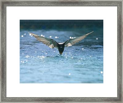 Swallow Drinks From Pool Framed Print by Bryan Allen