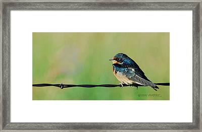 Swallow On Barbed Wire Framed Print by Don Durfee