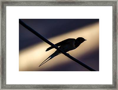 Swallow Speed Framed Print by Rainer Kersten