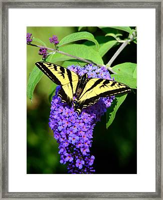 Swallow Tail Butterfly Framed Print by Lisa Rose Musselwhite