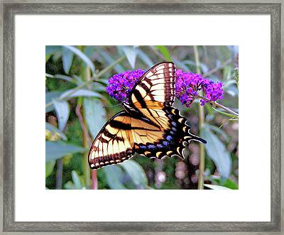 Swallow Tail Butterfly Framed Print by Margie Avellino
