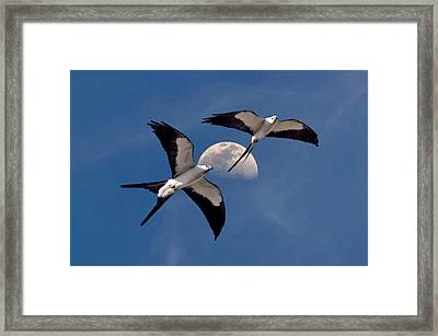 Swallow Tail Kites In Flight Under Moon Framed Print