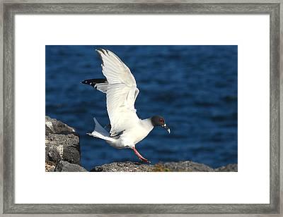 Swallow Tailed Gull Landing Framed Print by Alan Lenk