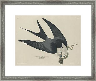 Swallow Tailed Hawk Framed Print