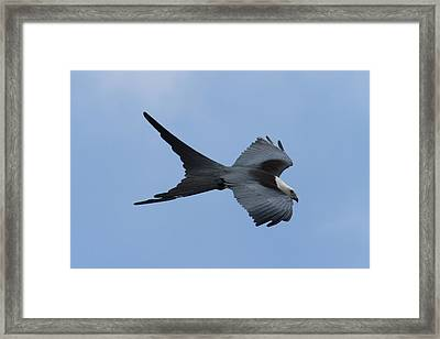 Swallow-tailed Kite #1 Framed Print by Paul Rebmann