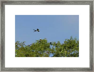 Swallow-tailed Kite Flyover Framed Print