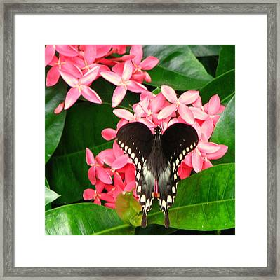 Swallow-wing Butterfly Framed Print