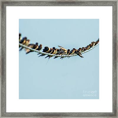 Swallows On Cable Framed Print by Roberto Chiartano