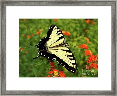 Swallowtail Among Lantana Framed Print by Sue Melvin