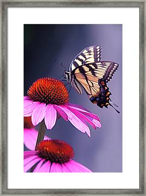 Framed Print featuring the photograph Swallowtail And Coneflower by Byron Varvarigos