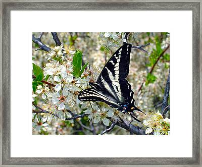 Swallowtail And Plum Blossoms Framed Print