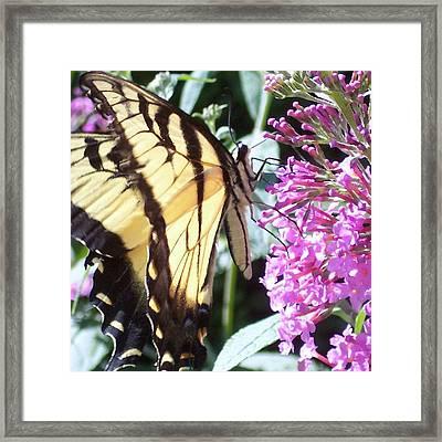 Swallowtail Framed Print by Anna Villarreal Garbis