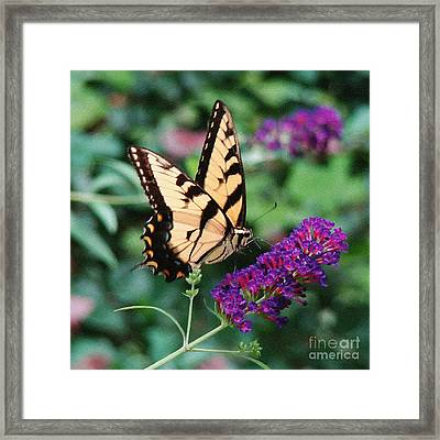 Swallowtail Butterfly 1 Framed Print by Sue Melvin