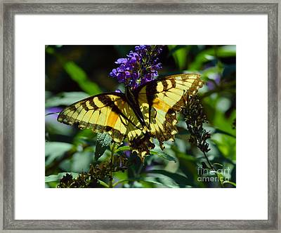 Swallowtail Butterfly #2 Framed Print by Robyn King