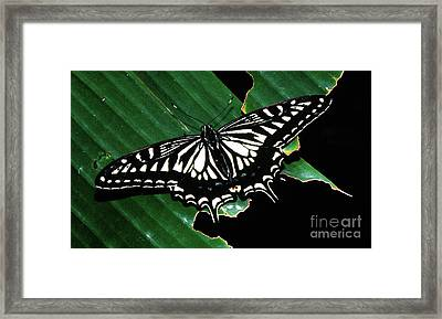 Swallowtail Butterfly- Close Framed Print
