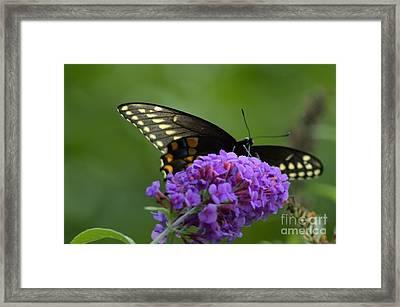 Swallowtail Butterfly Enjoying A Summer Breeze Framed Print by Robyn King