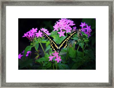Swallowtail Butterfly Rests On Pink Flowers Framed Print by Toni Hopper
