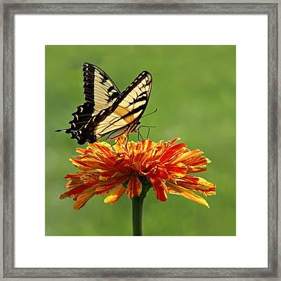 Swallowtail Butterfly - Zinnia Framed Print