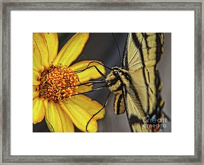 Swallowtail Close Up Framed Print by Robert Bales