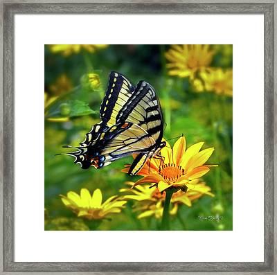 Swallowtail Dance Framed Print by Diane E Berry