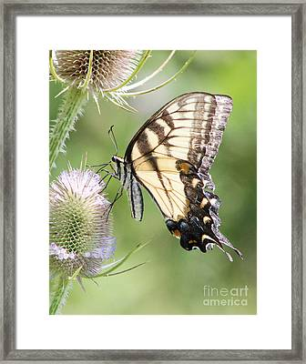 Swallowtail Delight Framed Print