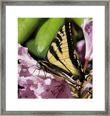 Swallowtail Butterfly Framed Print