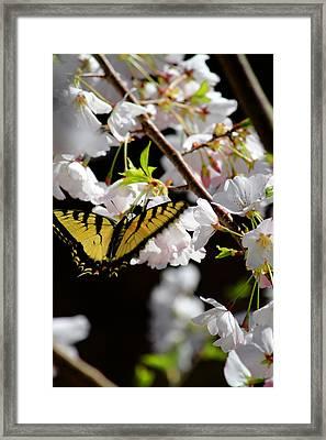 Swallowtail Framed Print by Nathan Grisham