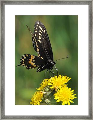 Swallowtail On Putney Mt. Framed Print by Gerald Hiam