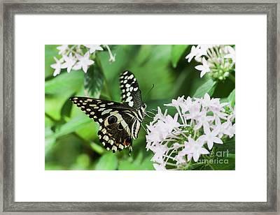 Swallowtail Perching  Framed Print