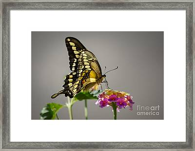 Swallowtail Framed Print by Robert Bales
