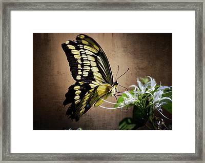 Swallowtail Framed Print by Saija  Lehtonen
