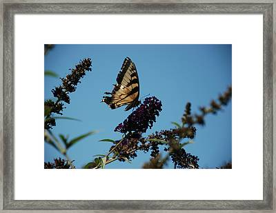 Swallowtail Framed Print by William Thomas